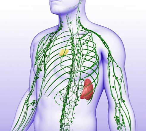 Lymphatic System, Spleen and Thymus Glands